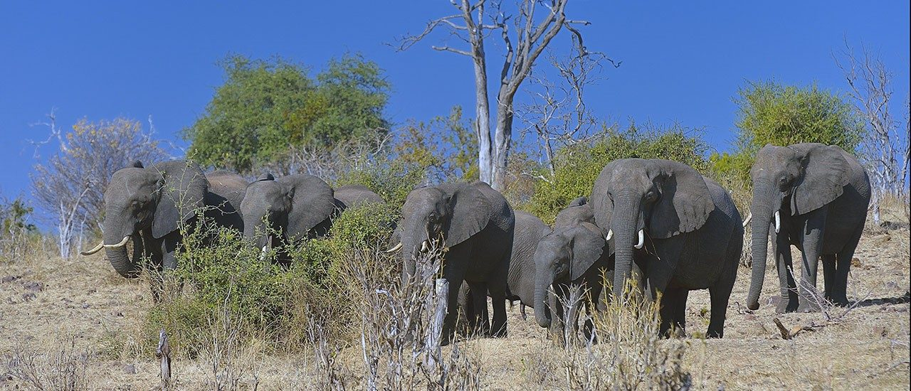 Virginia Tech researchers explore causes of land cover change in African savannas. photo of elephants