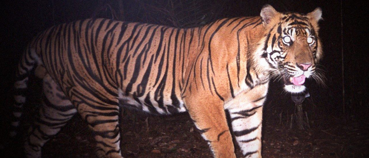 Camera-trap data from 96 carnivore species photographed across 12 countries, including this Sumatran tiger in Indonesia, were used to evaluate patterns in carnivore occupancy and richness across multiple spatial scales. Photo by S. Sunarto/WWF.